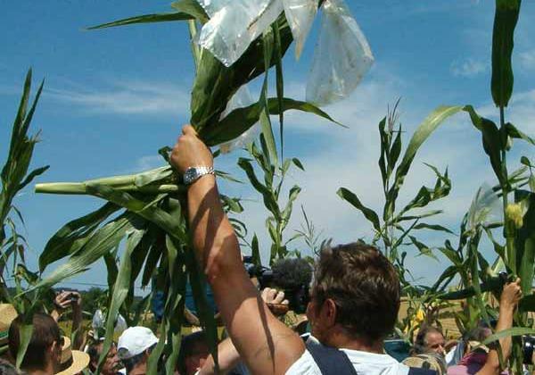 Midi Pyrénées : Le ministère de l'agriculture ordonne la destruction de maïs OGM