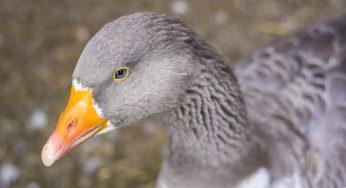 Grippe Aviaire. Dans le Gers, Le Foll confirme les aides à la filière palmipède