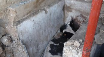 Tarn. Opération de secours pour sauver une vache tombée dans une cuve à vin