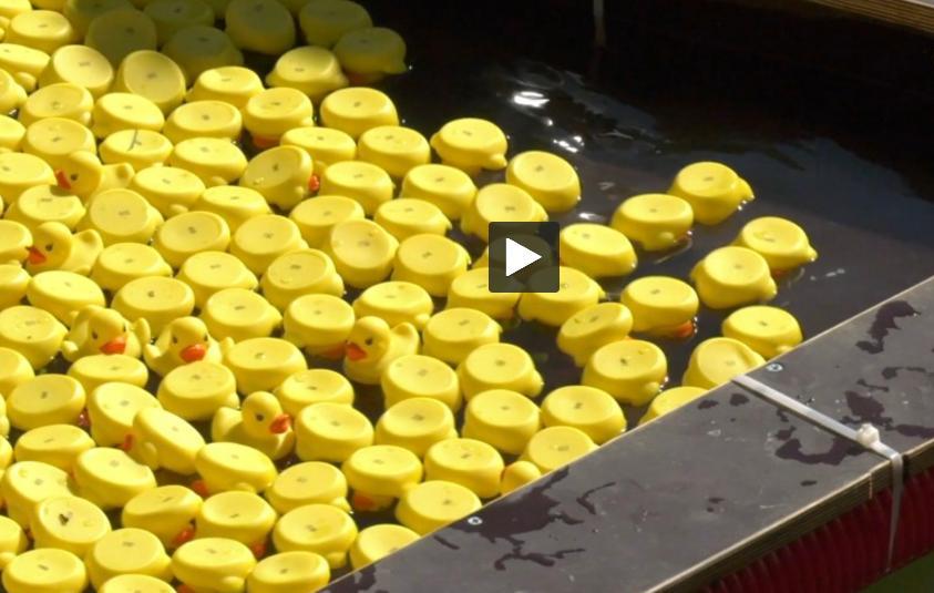 Toulouse : 5800 canards vendus pour la première DuckRace