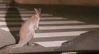 Un kangourou se promenait dans les rues de Muret !