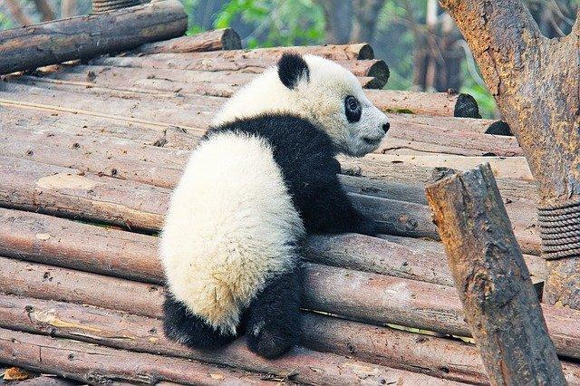VIDÉO. Deux bébés pandas « en parfaite santé » nés au zoo de Beauval