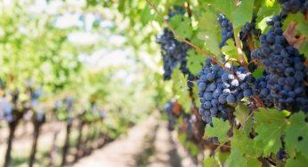 """La production de vin en France à un plus bas """"historique"""" en 2021"""