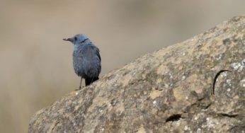 Effet du réchauffement climatique ? Un oiseau méditerranéen découvert dans les Pyrénées