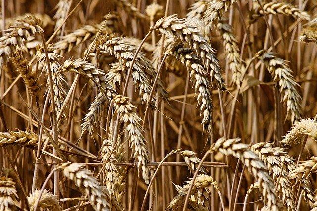 La pluie retarde la moisson et affecte la qualité du blé
