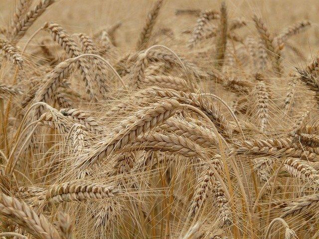 Pluies : La moisson de blé prend du retard dans la Somme