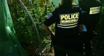 60 pieds de cannabis saisis au sud ouest de Toulouse